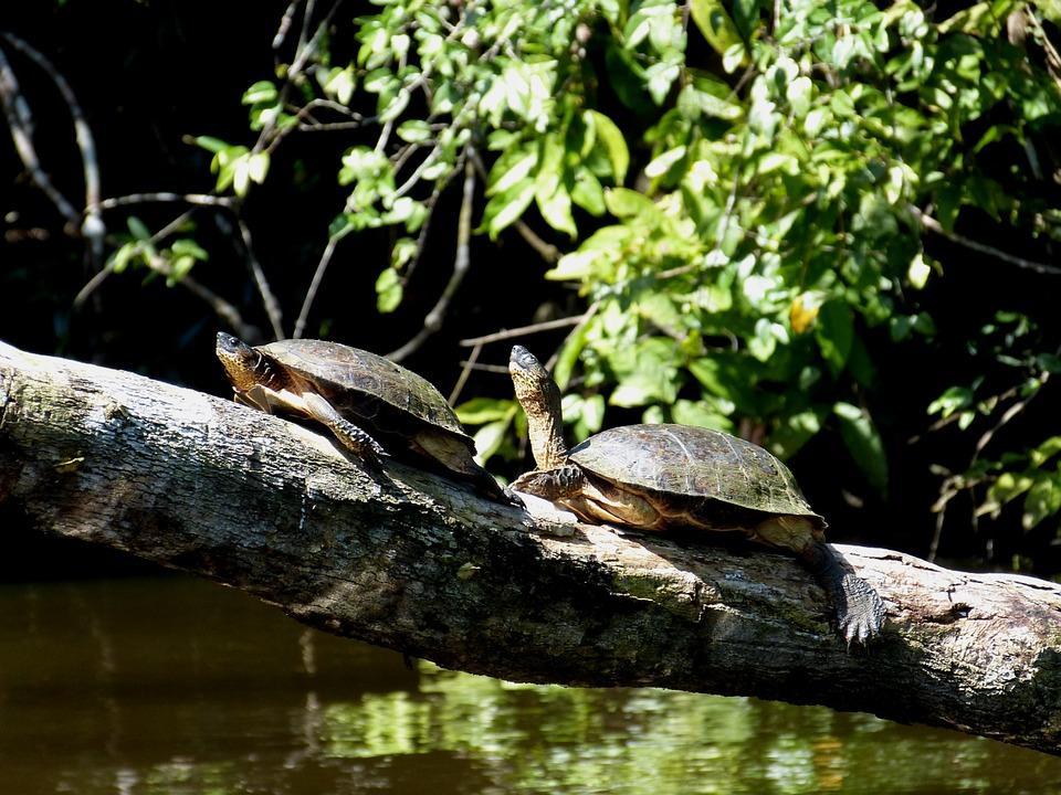 turtles 287323 960 720 - KOSTARYKA – PARKI NARODOWE, LENIWCE I WISZĄCE MOSTY